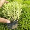 熟知佛甲草的养殖方法